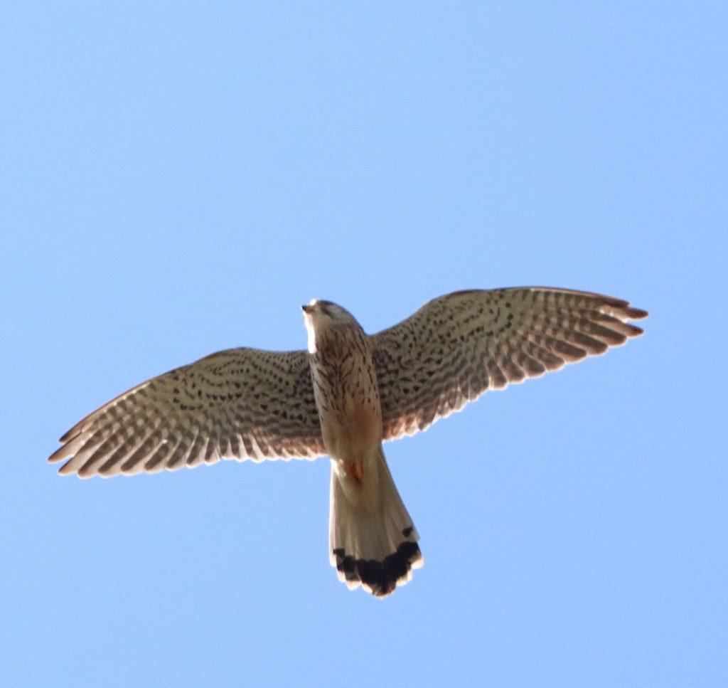 Turmfalken-Weibchen am Himmel über Eckenhagen