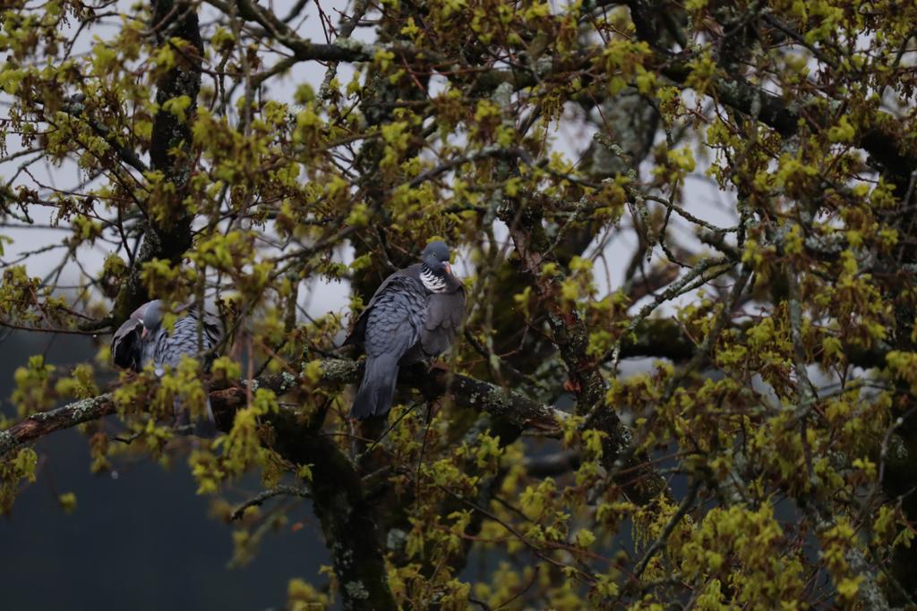 Tauben in Baum - Foto © Artur Jedig